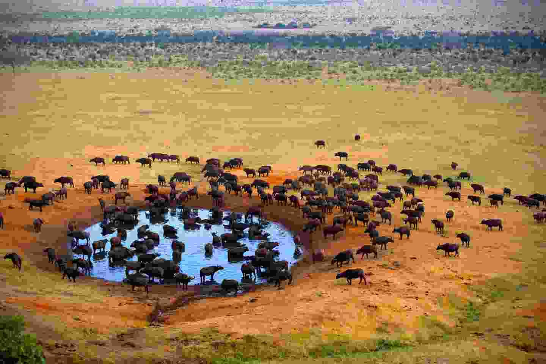 Buffalo in Masai Mara, Kenya (Shutterstock)