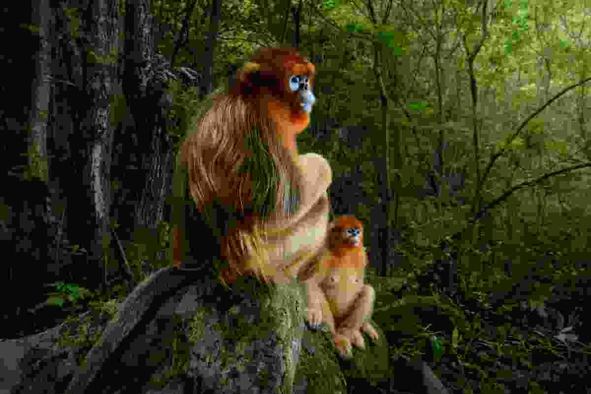 Grand Title Winner, Animal Portraits: 'The golden couple' (Marsel Van Oosten, The Netherlands)
