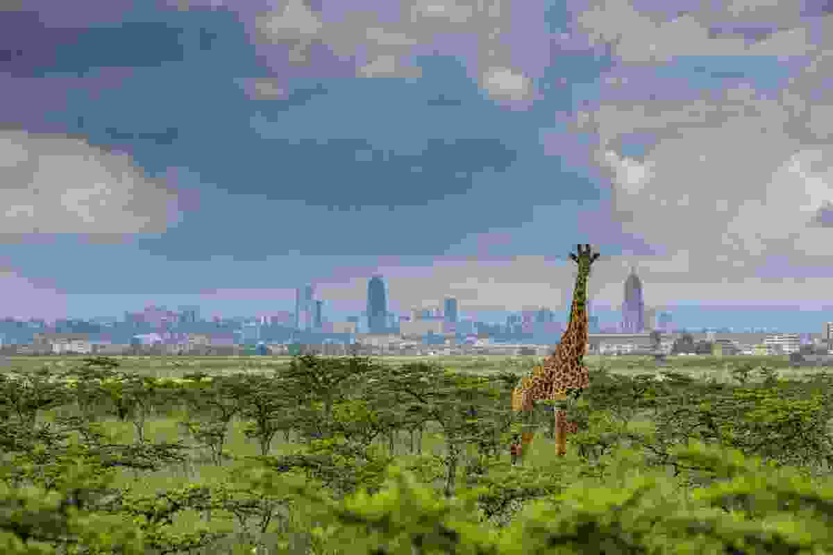 Nairobi's skyscrapers – Maasai giraffe in Nairobi National Park, Kenya (Paras Chandaria)