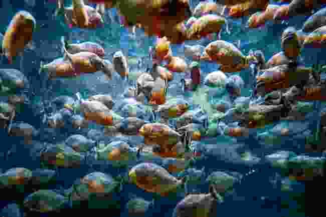 Piranhas (Shutterstock)