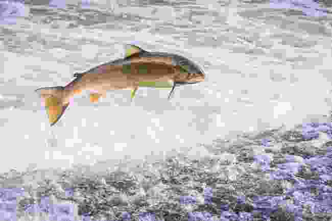 An Atlantic salmon on the move (Shutterstock)