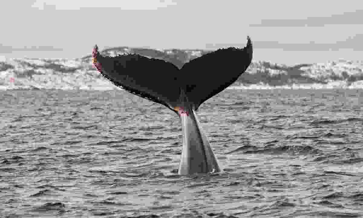 Between November and January, you may be lucky enough to spot a humpback whale (Shutterstock)