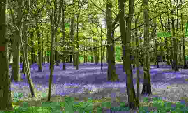 Bluebells in Ashenbank Wood, Kent (Shutterstock)