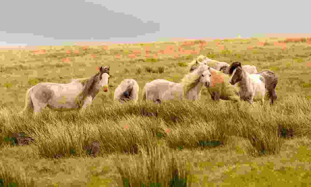 Pembrokeshire's wild horses (Shutterstock)