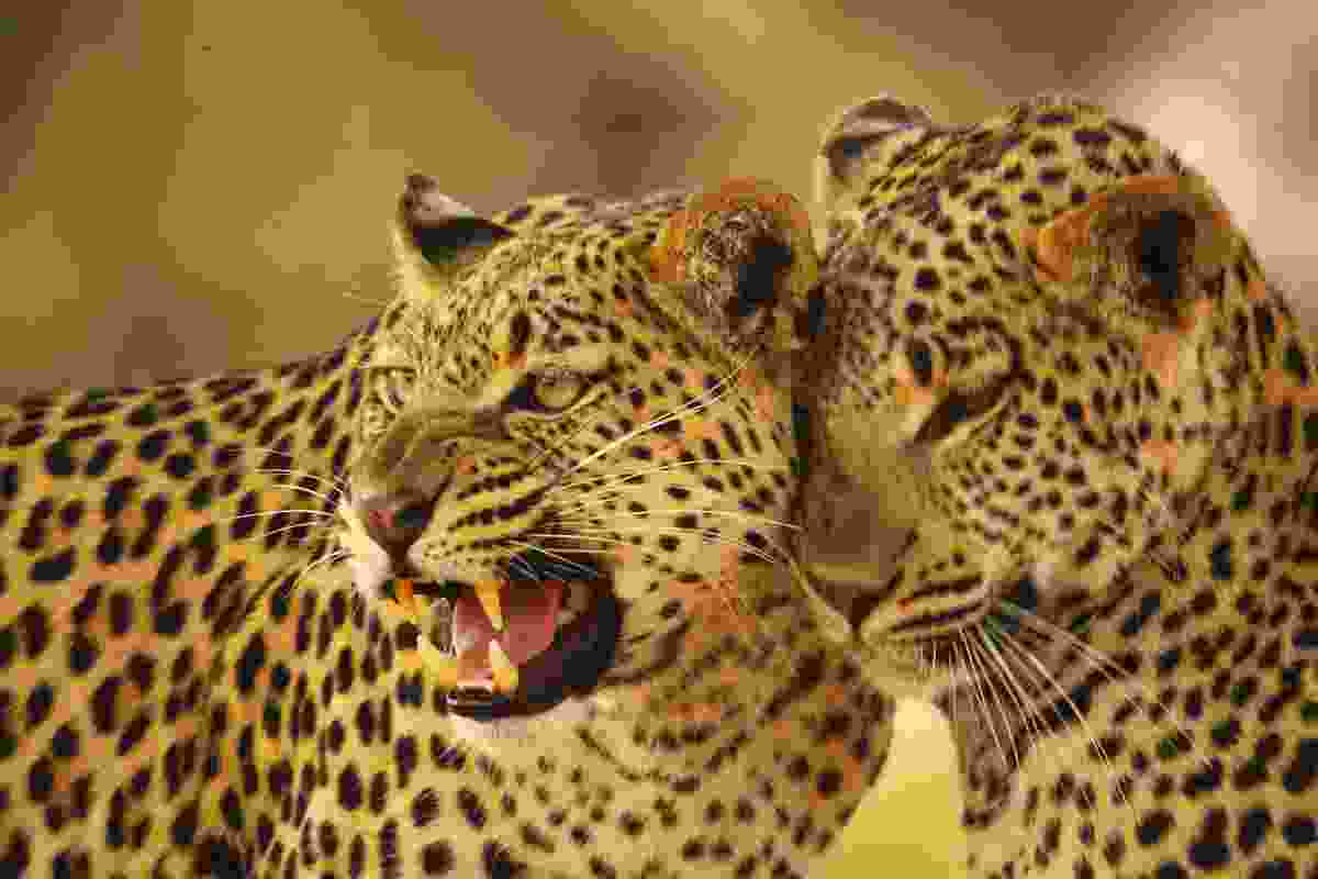 Leopards in Botswana (Dreamstime)