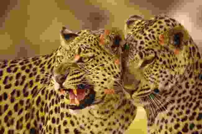 Leopards in Botswana (Dreamstime)