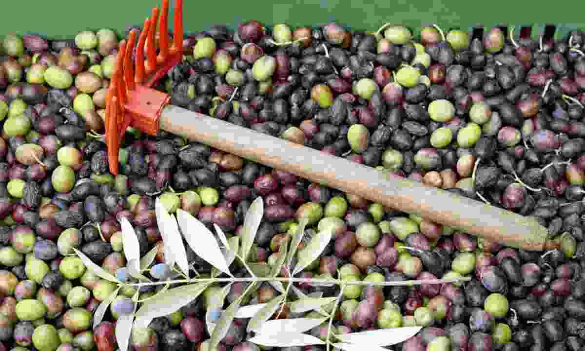 Olive harvest, Greece (Dreamstime)