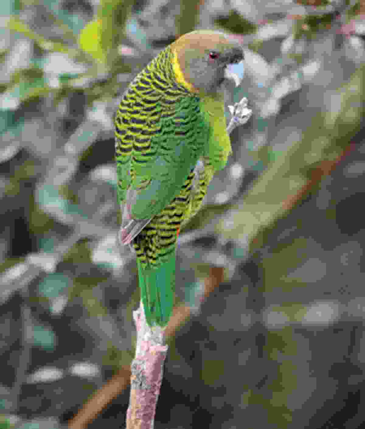 Brehm's Tiger-Parrot near Kumul Lodge (Brian Coates)