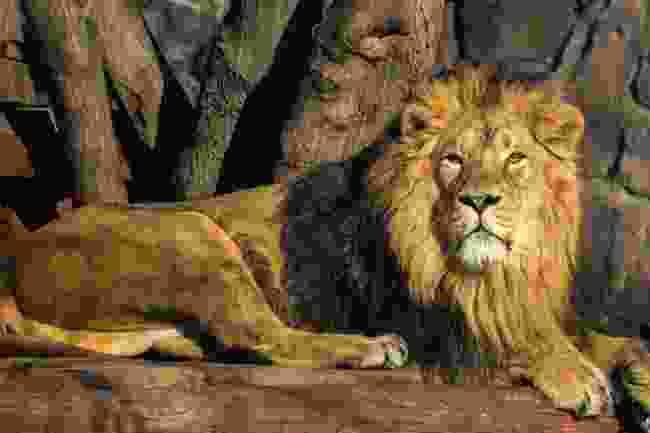 An Asiatic lion (Shutterstock)