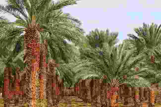 A date farm, Saudi Arabia (Shutterstock)