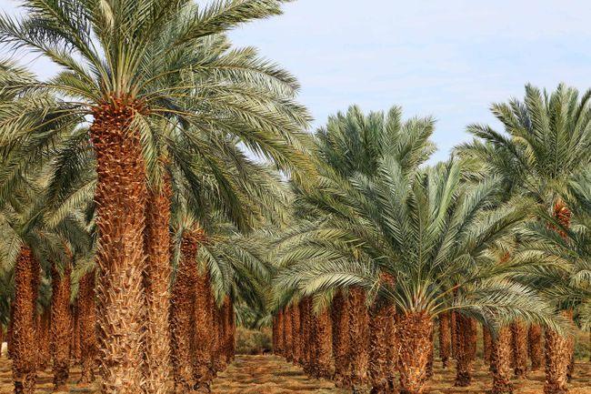 مزرعة تمر بالمملكة العربية السعودية (Shutterstock)