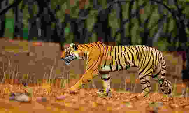 Ranthambore National Park remains one of the planet's best destinations for tigers (Dreamstime)