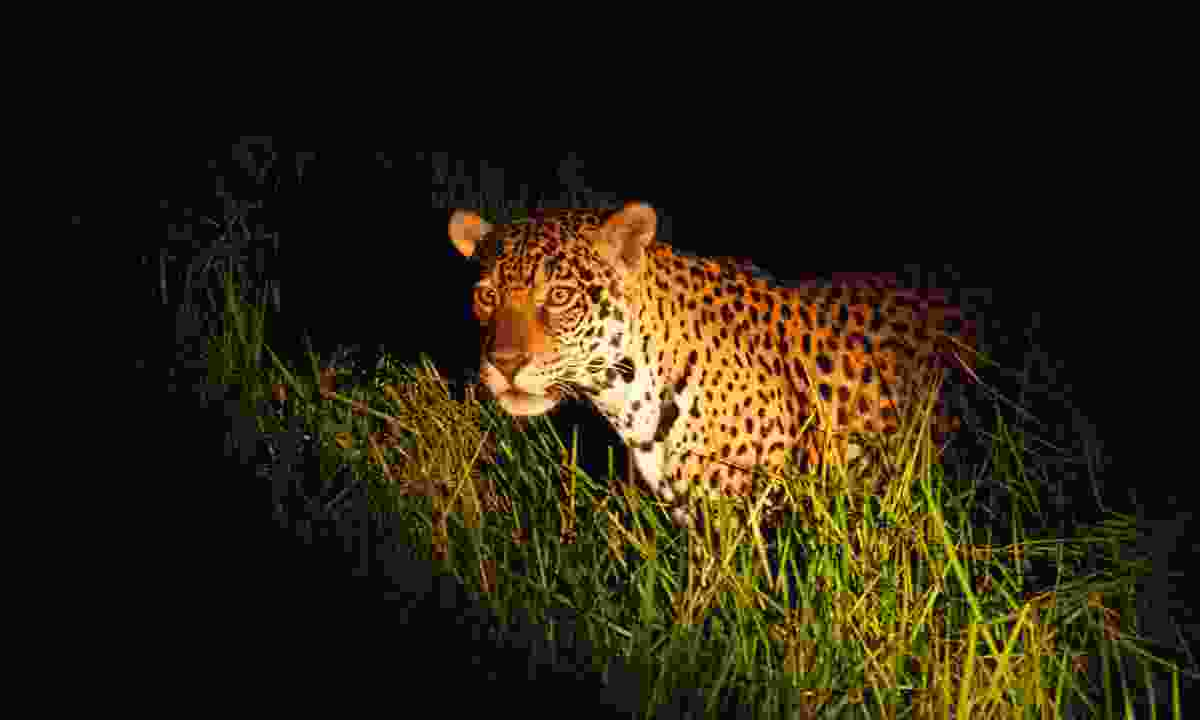 Spotlight superstar: Juju strolling past the rangers' car, enticing the male to follow her (Simon Chubb)