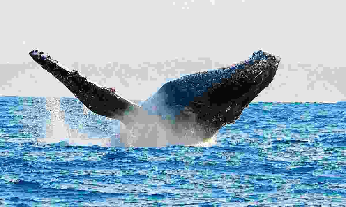 Humbacks can be seen migrating offshore in St Lucia (Nick van Wiel)