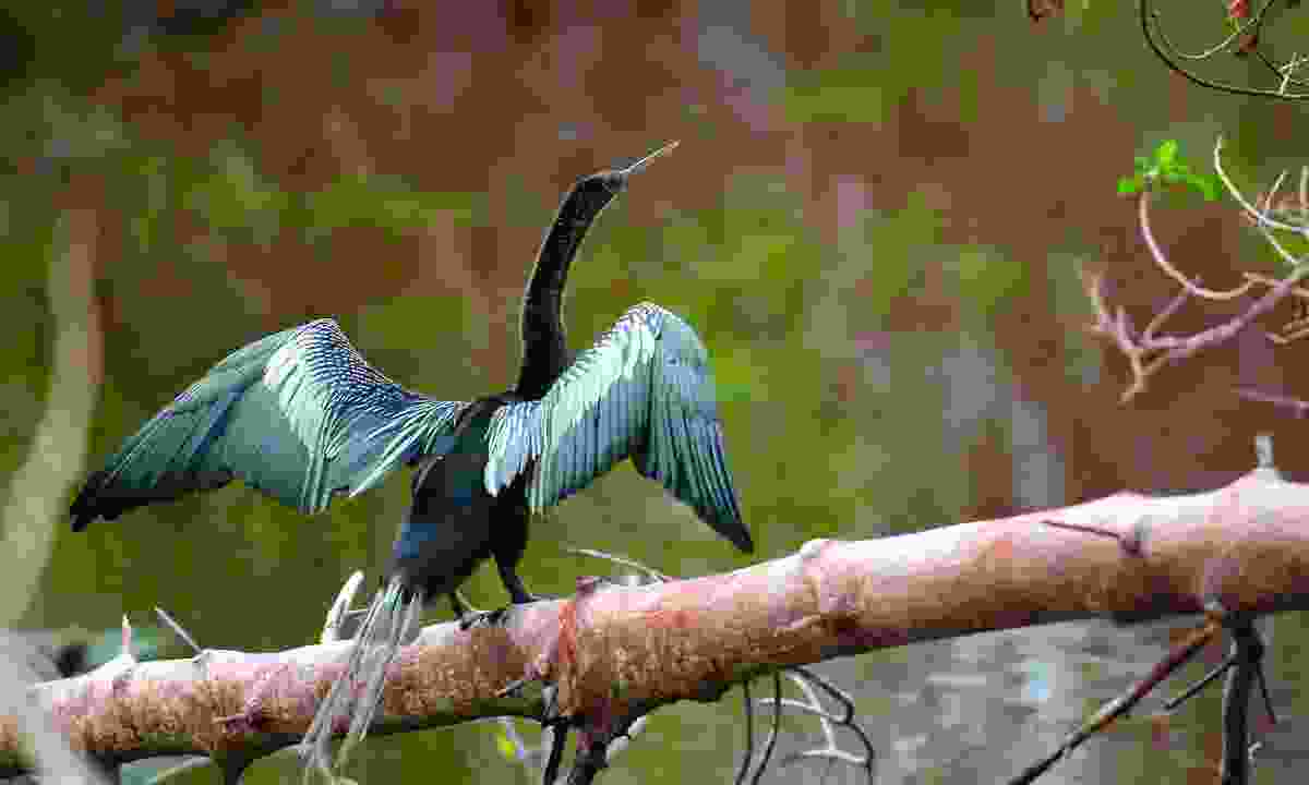 Look out for Anhingas basking in sun