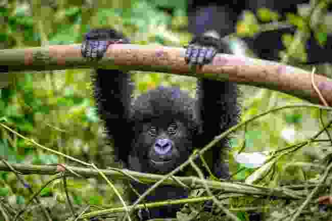 Has wildlife tourism saved the mountain gorilla? (Shutterstock)