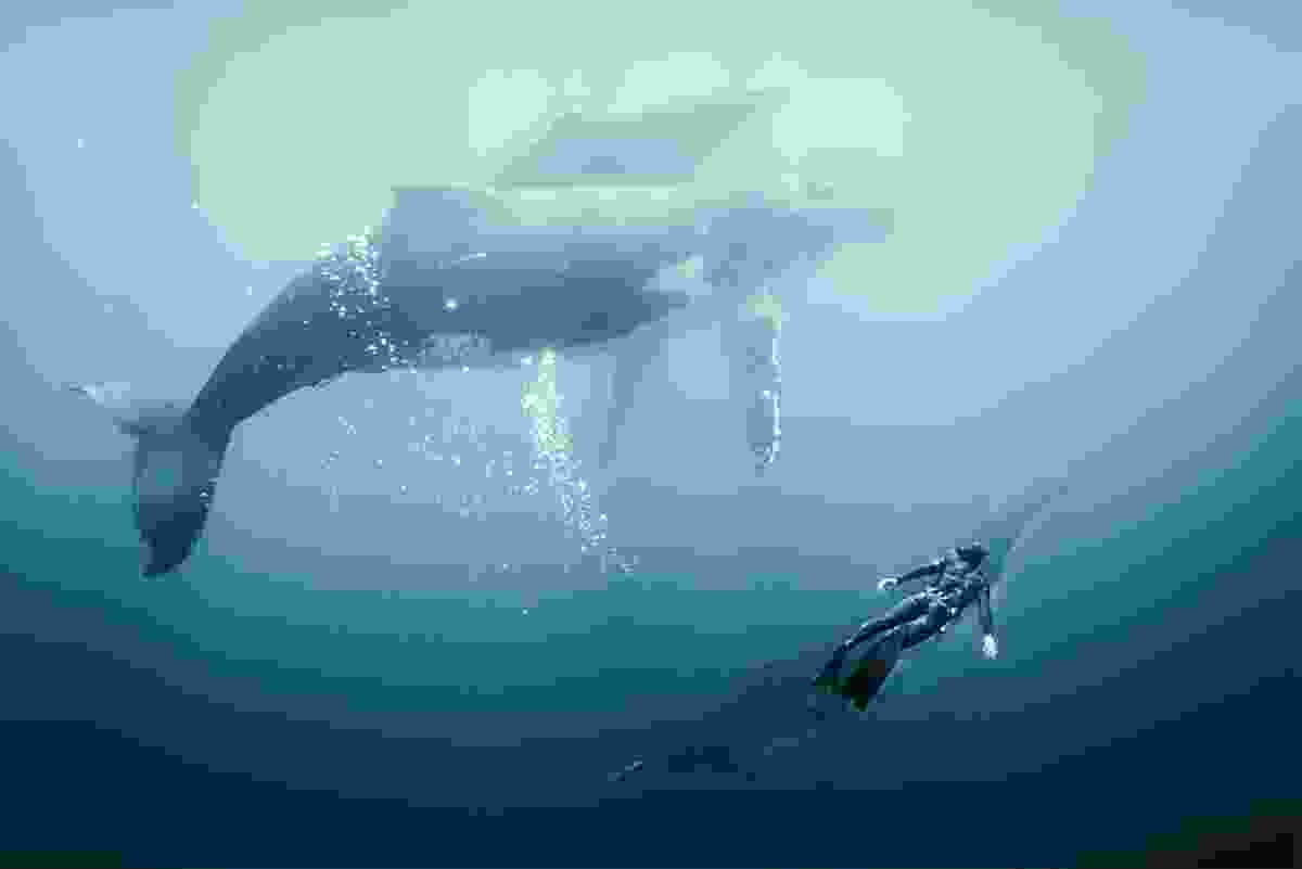 Lucas dives with a humpback whale in Tonga during filming (BLUE)