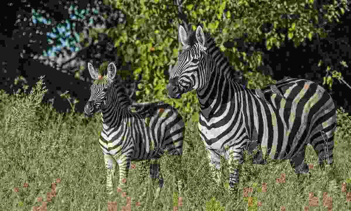 Burchell's zebras standing their territory (John Webster)