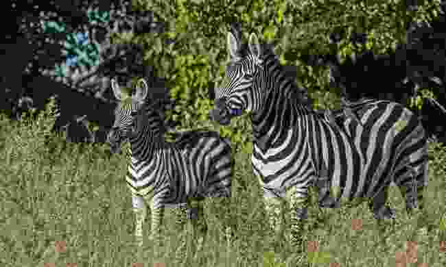 Burchell's zebras standing their territory (John Webster)