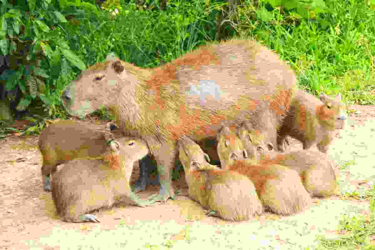 Capybara mother feeding infants, Los Llanos, Venezuela (Graeme Green)