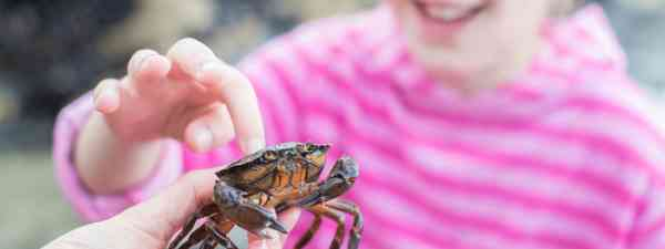 Girl touching a crab found in a rock pool (Dreamstime)