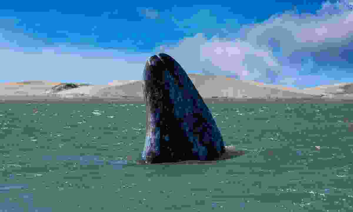 Grey whale mother nose going up in the Pacific Ocean (Dreamstime)