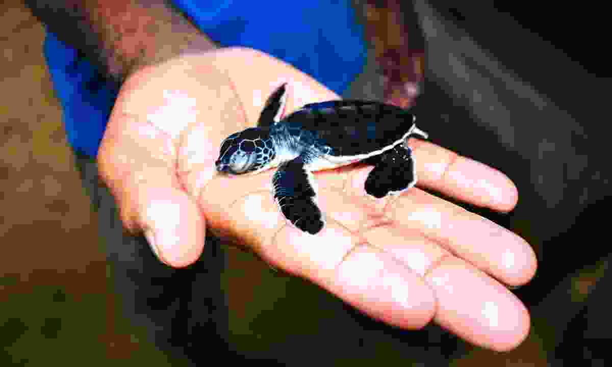Baby sea turtle at Kosgoda Sea Turtle Conservation Project (Dreamstime)