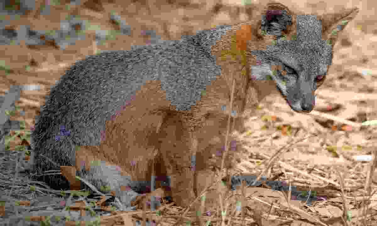 A Channel Island fox (Dreamstime)