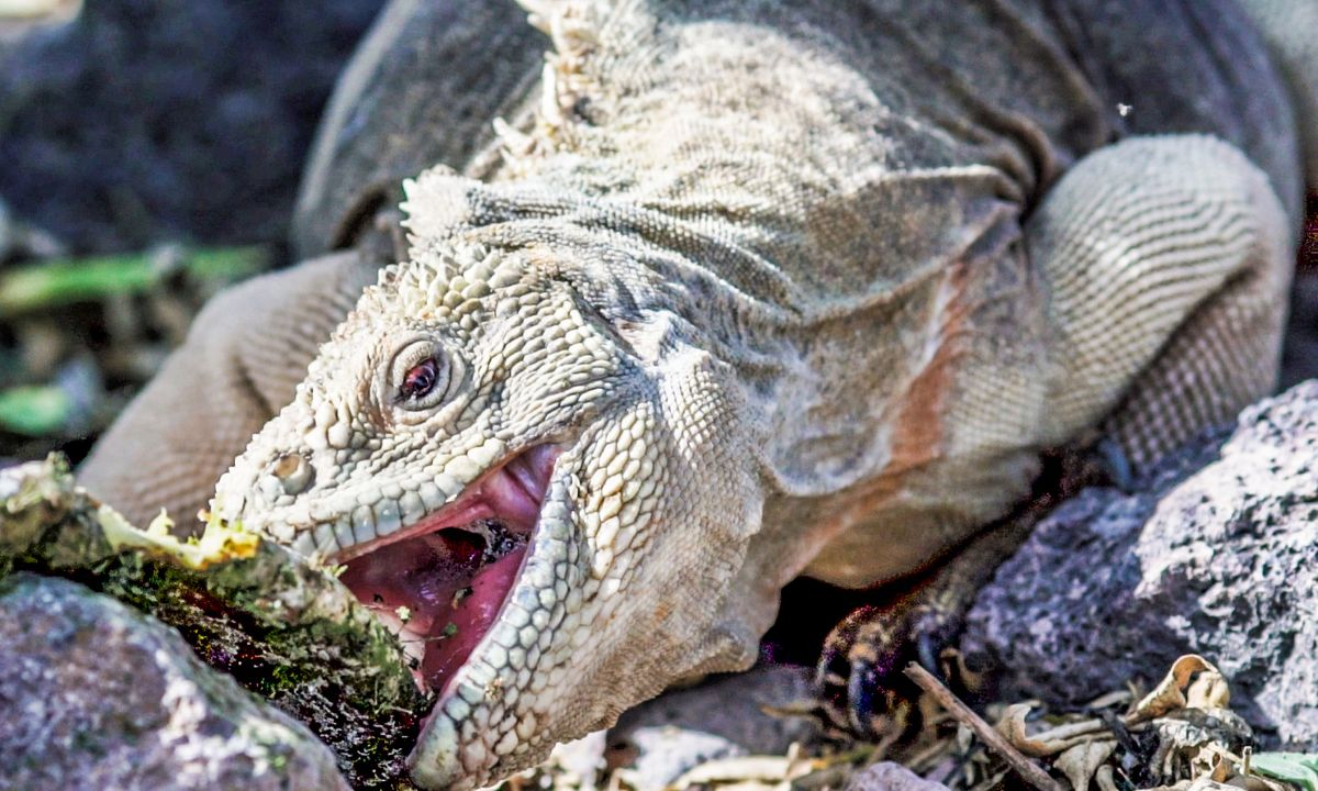 A hungry iguana (Jade Stein)