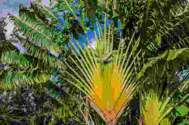 Ravenala madagascariensis, known as the traveller's tree (Shutterstock)