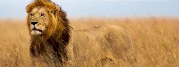 A lion gazing across the Masai Mara (Shutterstock)