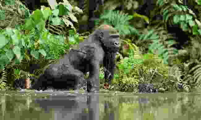 Lowland gorilla in Loango National Park (Shutterstock)