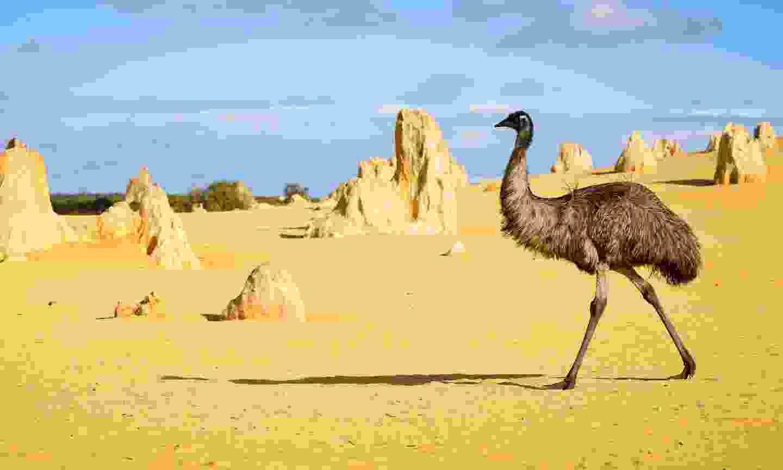 Emu walking through The Pinnacles Desert (Shutterstock)