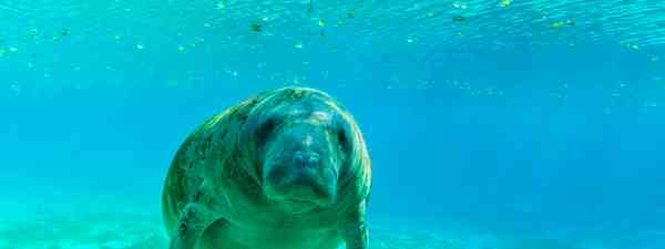 Manatee swimming in Florida (Shutterstock)