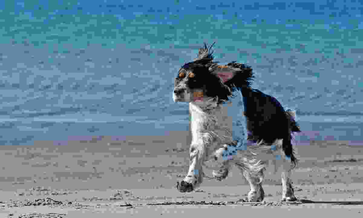 A cocker spaniel runs along a beach in Sweden (Dreamstime)