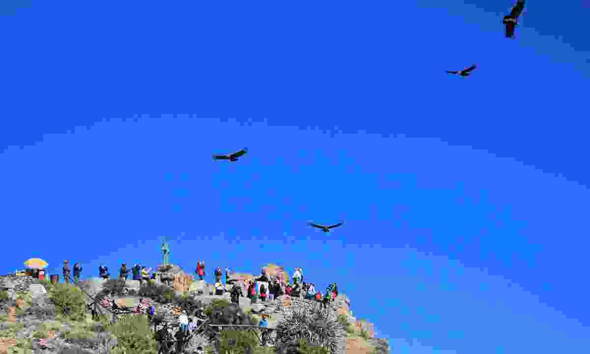 Condors soar in the sky at Colca Canyon, Peru (Dreamstime)