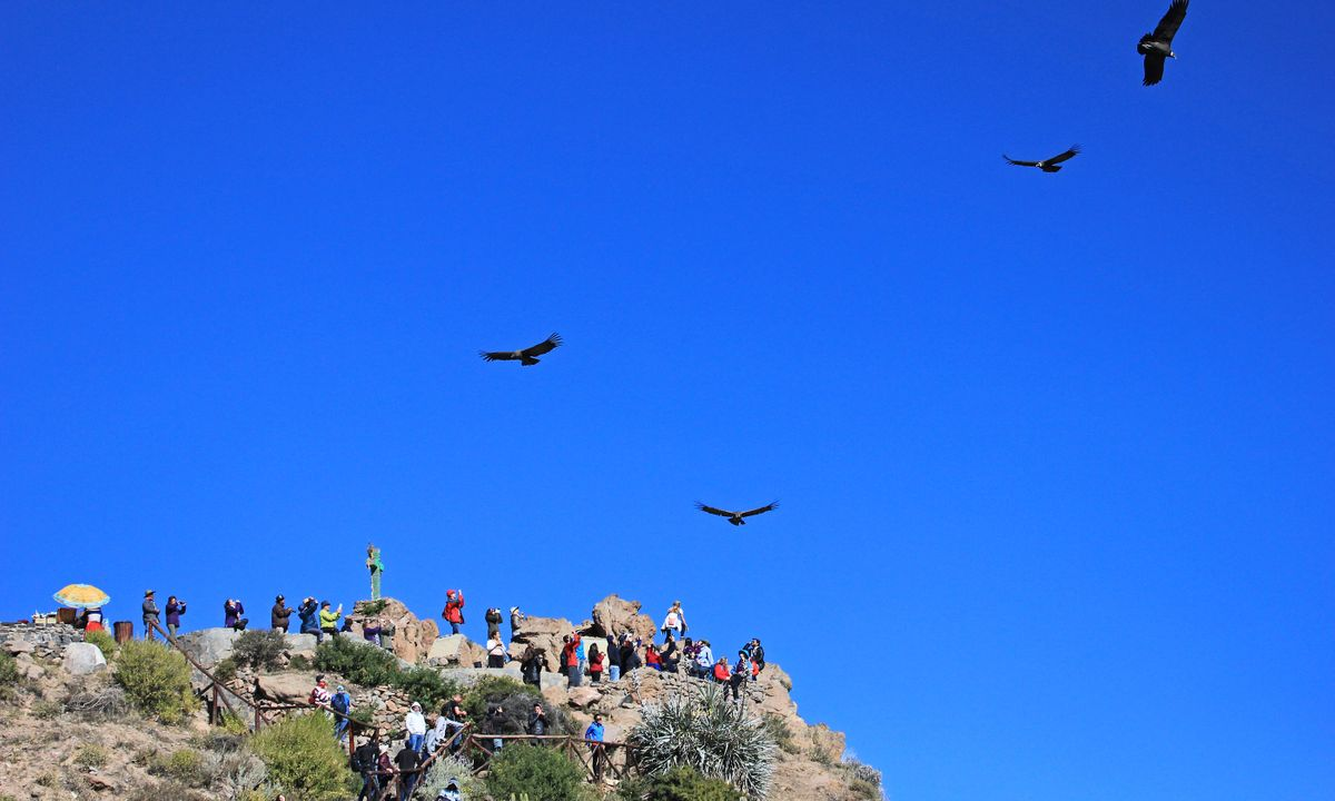 Condors soar in the sky at Colca Canyon, Peru (Dreamstime)