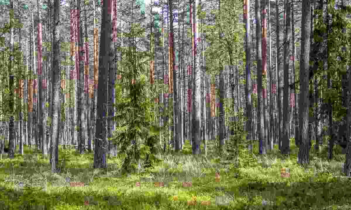 Forest near Talllinn (Dreamstime)