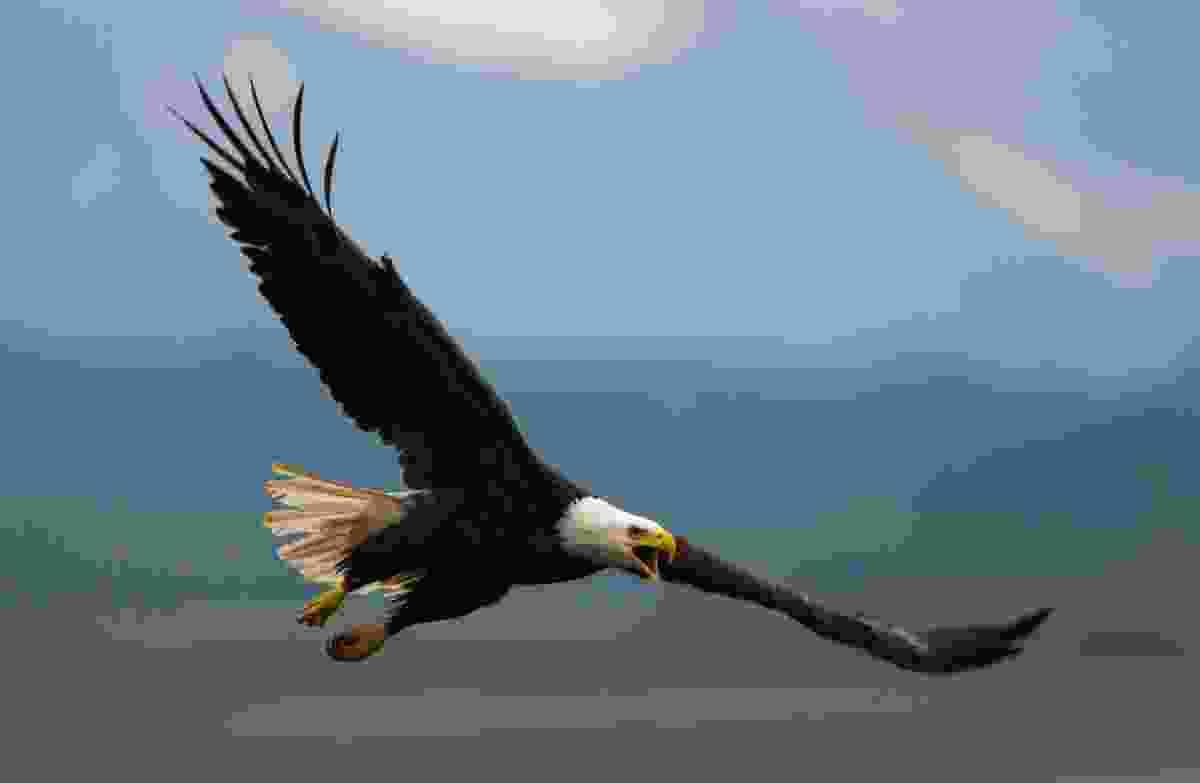 Bald eagle in flight, Katami National Park, Alaska, USA (Art Wolfe)