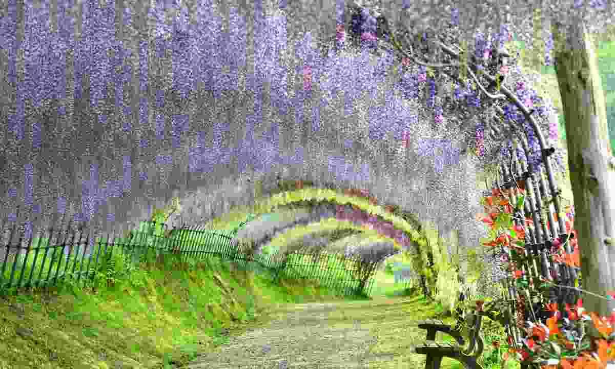 Tunnels of wisteria, Kawachi Fuji-en gardens, Kitakyushu (Japan National Tourism Organization)
