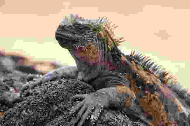 Marine iguanas: Galápagos wildlife superstars (Shutterstock)