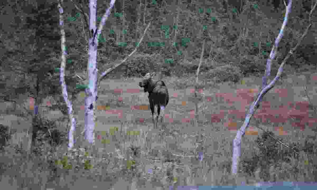 A Moose (Phoebe Smith)
