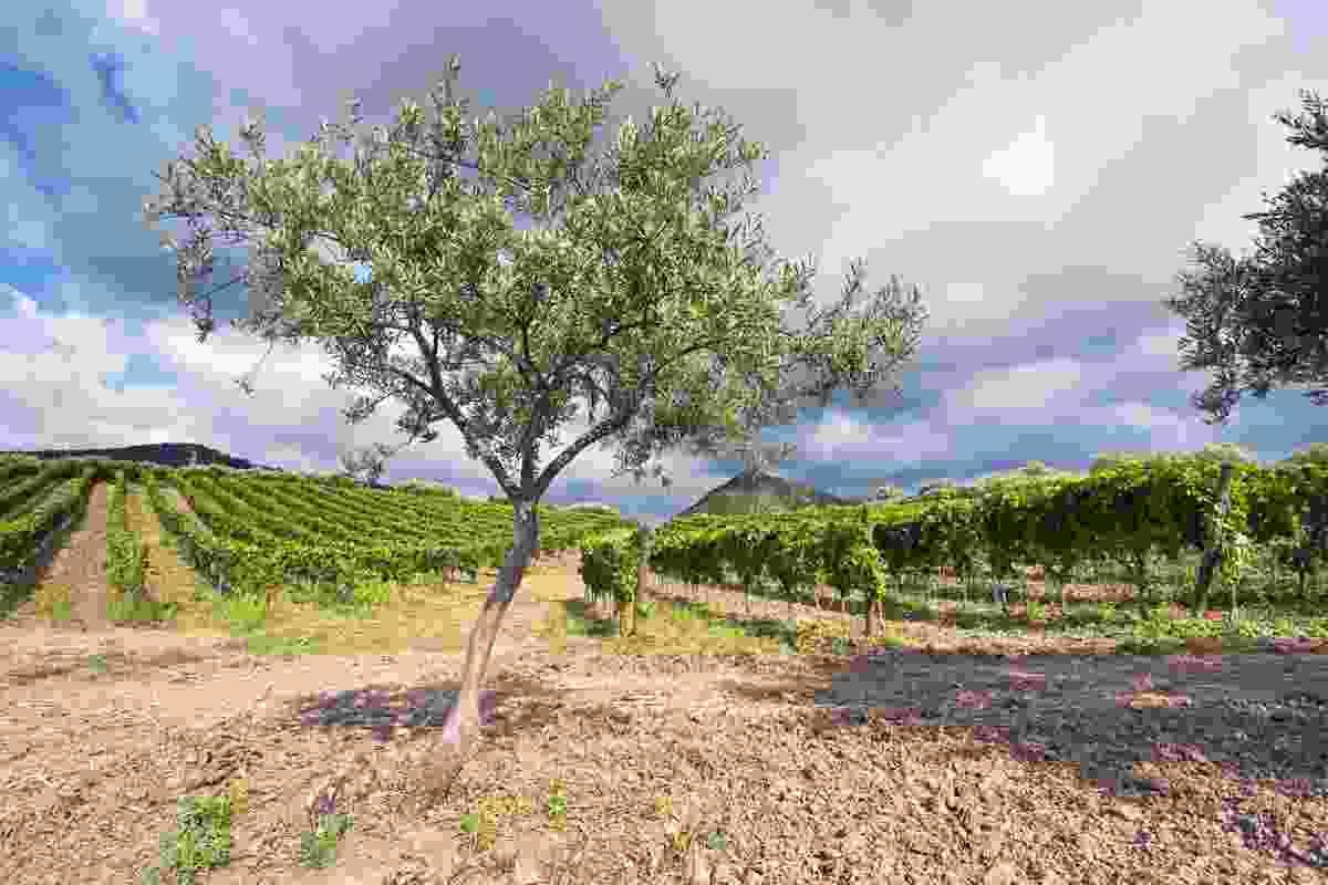 Olive tree and vineyard, Sicily (Dreamstime)