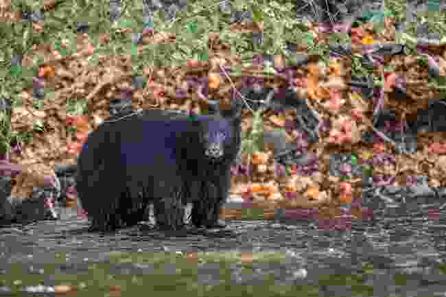 A young black bear looking for salmon on Campbell River (Shutterstock)