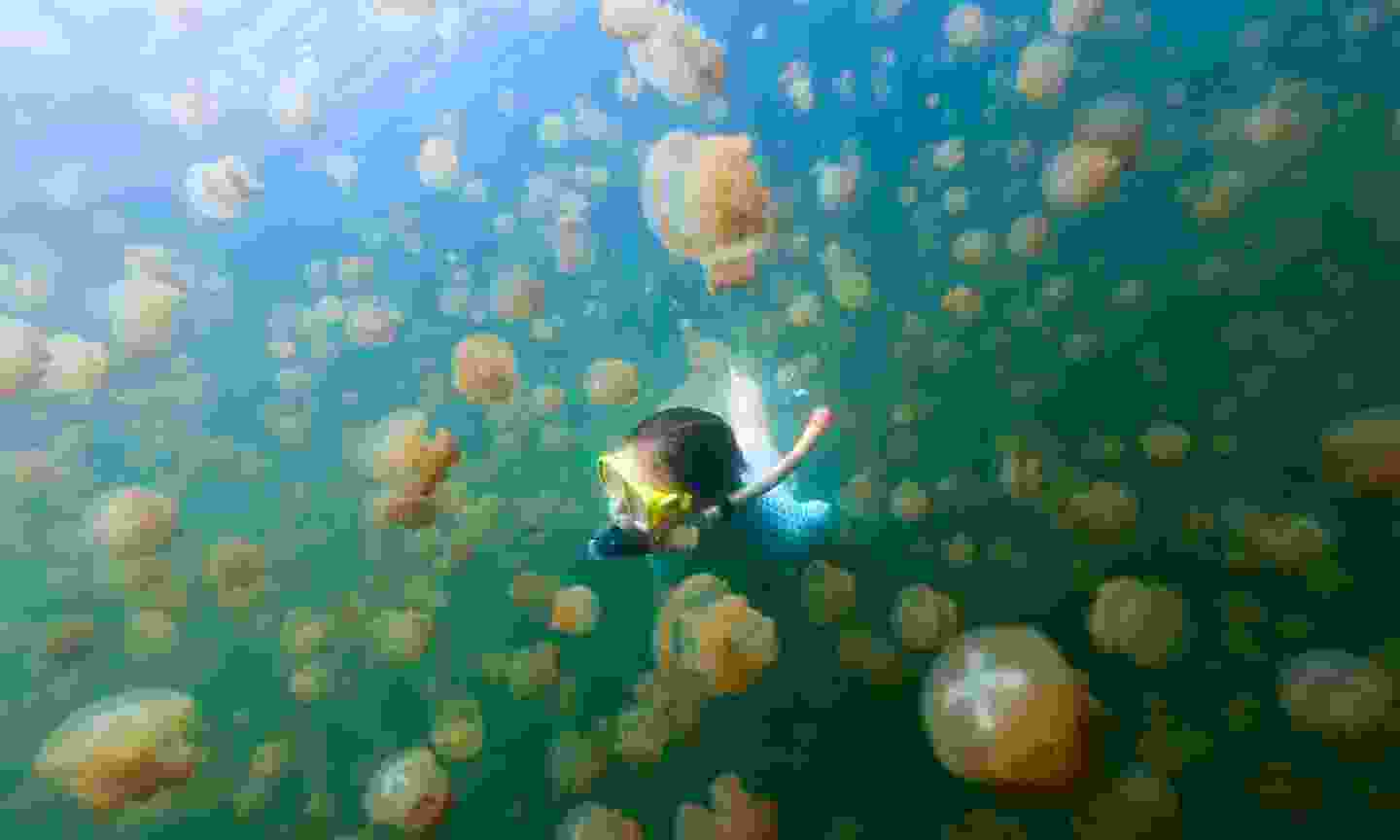 Snorkel among the golden jellyfish in Palau (Shutterstock)