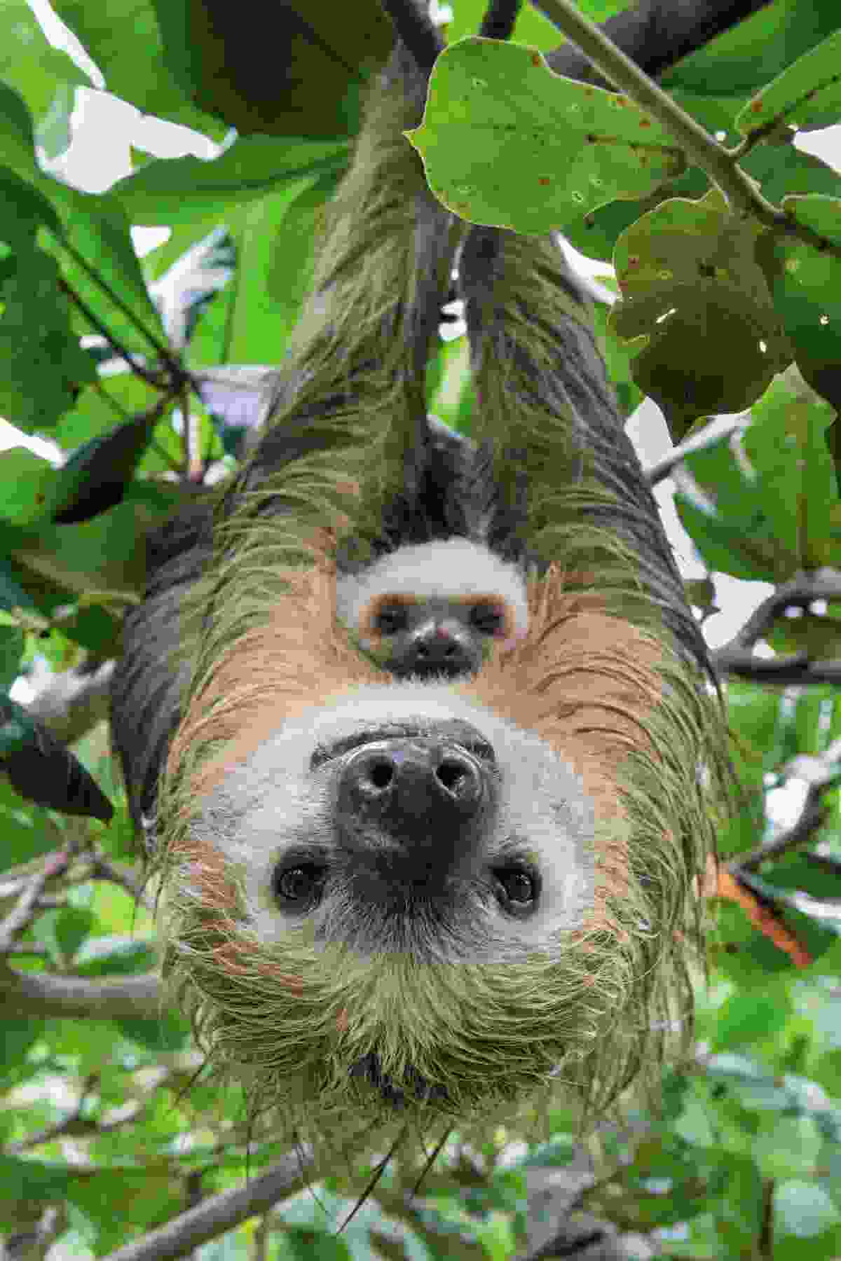 Two-toed sloth and her two-month old baby in Costa Rica (Suzi Eszterhas)