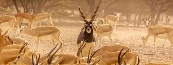 Gazelles in Abu Dhabi (Shutterstock)