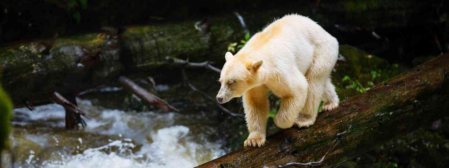 A spirit bear saunters across a log on the look out for fish (Spirit Bear Lodge)