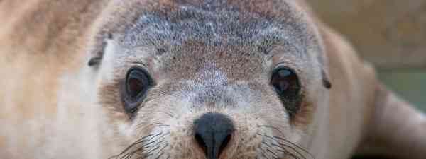 Australian sea lions (SATC)