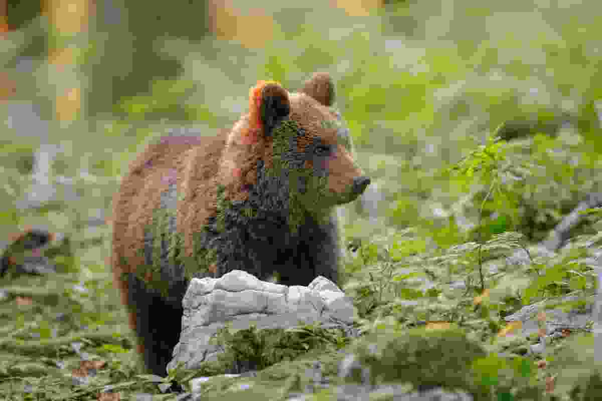 A young wild bear in Slovenia's Dinaric Alps (Shutterstock)